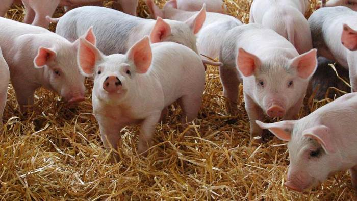 MAIN-Pigs-infected-post-weaning-are-particularly-susceptible-to-respiratory-diseases-c-no-credit.jpg